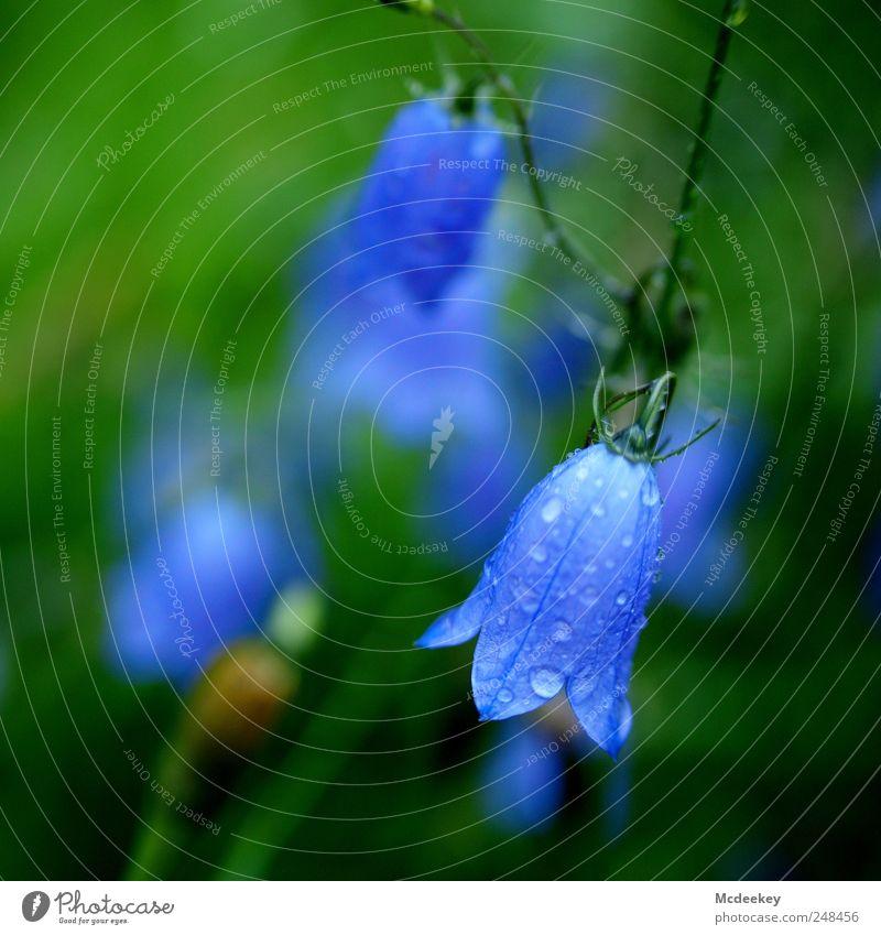 Nicht alle Glöckchen klingen Umwelt Natur Landschaft Pflanze Sommer Blume Gras Blüte Grünpflanze nass natürlich blau braun gelb grün violett schwarz