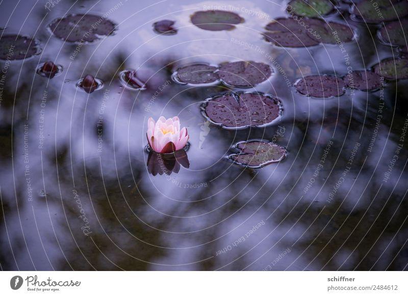 Gedankenspiele | Trauer und Hoffnung Natur Pflanze Blatt Blüte Garten Teich dunkel Seerosen Einsamkeit Traurigkeit Außenaufnahme Menschenleer