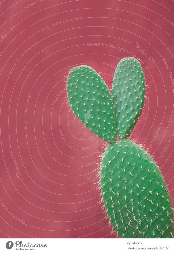 Kaktus mit Ohren Sommer Sonne Pflanze Grünpflanze exotisch ästhetisch außergewöhnlich Kitsch niedlich schön grün rosa Stachel Spitze Hase & Kaninchen einzeln