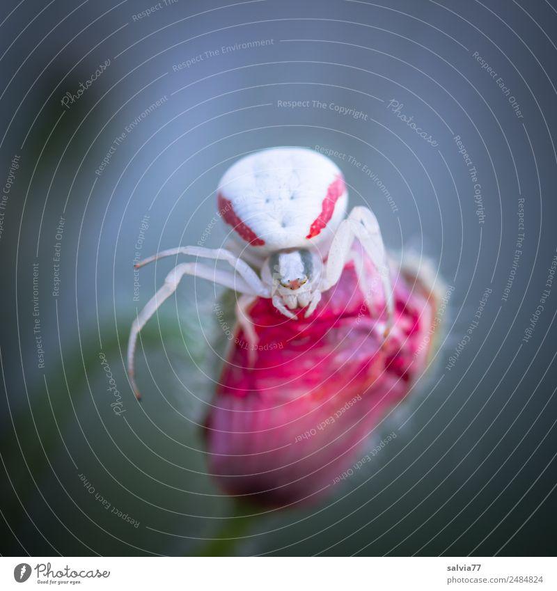 Krimi | Mordlust Natur Blume Blüte Tier Spinne Krabbenspinne beobachten Jagd krabbeln bedrohlich listig grau rot weiß Wachsamkeit gefährlich Aggression fangen