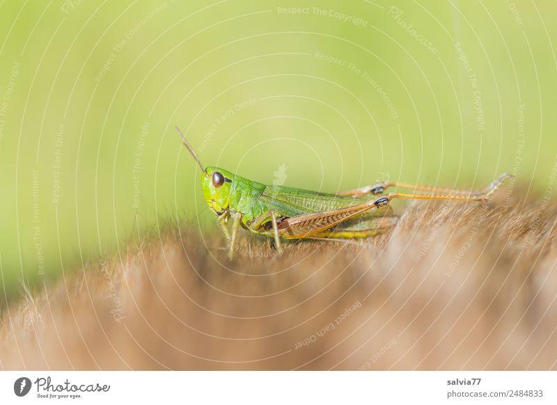 Zwischenlandung Natur Tier Heuschrecke Insekt Fell 1 krabbeln weich braun grün entdecken Leichtigkeit Pause Perspektive Schutz Wellness seltsam Farbfoto