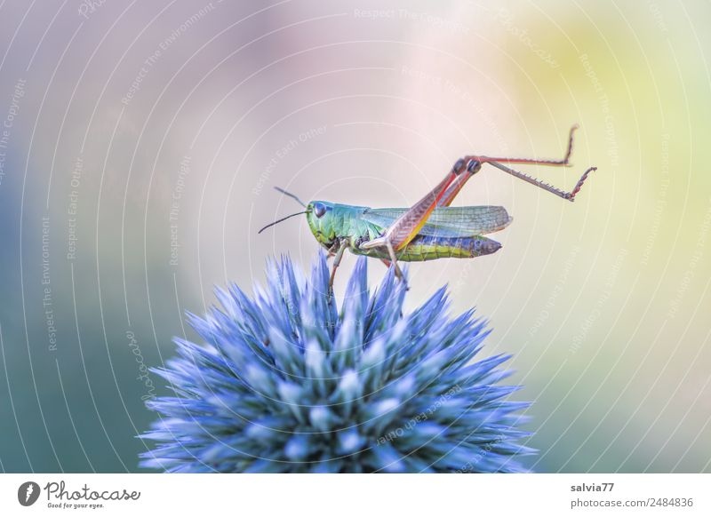 Kurioses | Grashüpfer-Yoga Natur Pflanze Tier Sommer Blume Blüte Distel Garten Heuschrecke Insekt 1 außergewöhnlich oben Spitze stachelig ästhetisch