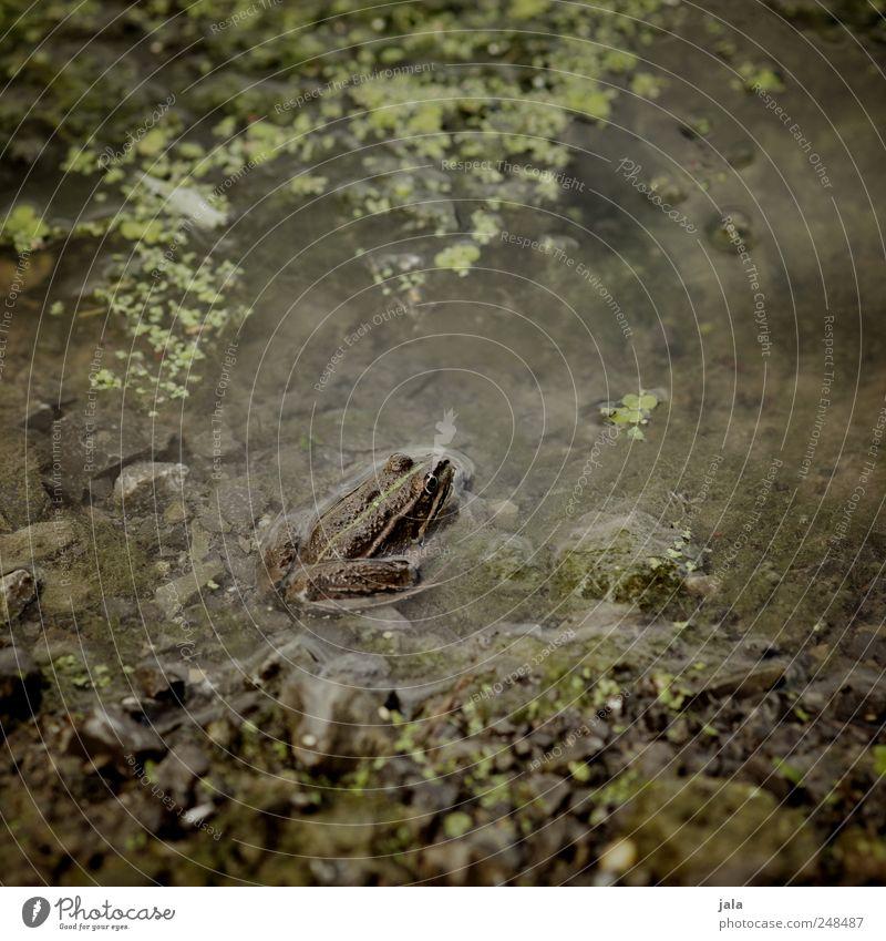 frosch Pflanze Wasserpflanze Moor Sumpf See Tier Wildtier Frosch 1 Stein natürlich braun grün Teich Tarnung Farbfoto Außenaufnahme Menschenleer Tag Tierporträt