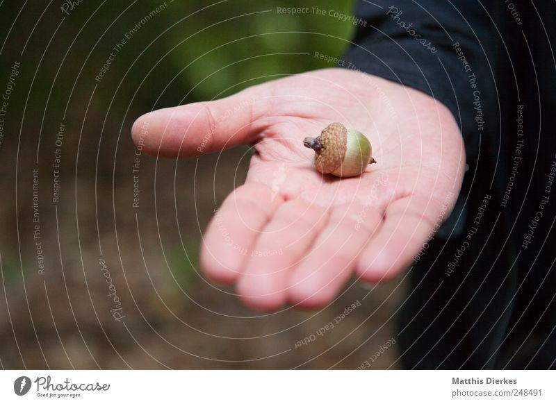 Eichel Natur Hand Umwelt ästhetisch Finger festhalten zeigen Sammlung Berufsausbildung Lehrer herbstlich Biologie Nuss aufmachen ansammeln Waldboden