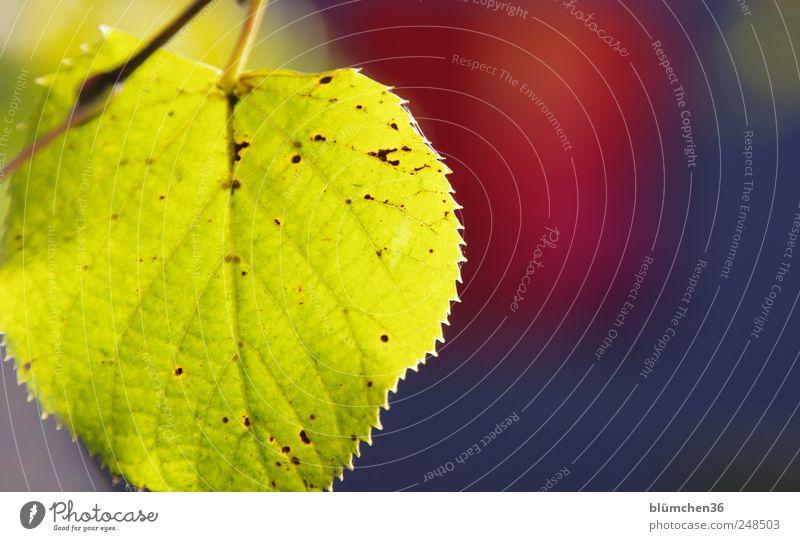 Leuchtender Herbst Pflanze Baum Blatt leuchten herbstlich Jahreszeiten Färbung Herbstbeginn gelb gold Blattadern Farbfoto Außenaufnahme Nahaufnahme Menschenleer