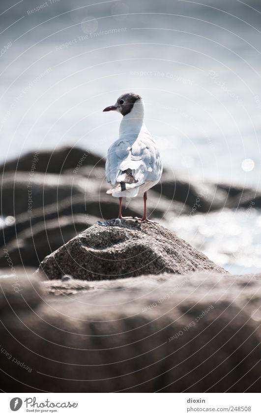 Chroicocephalus ridibundus Umwelt Natur Felsen Küste Meer Tier Wildtier Vogel Flügel Möwe Möwenvögel Lachmöwe 1 Blick frei natürlich Farbfoto Außenaufnahme