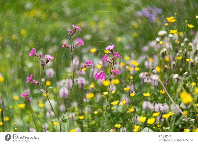 Klein aber fein Natur Pflanze Frühling Blume Blüte Wiesenblume Garten Park Blumenwiese Blühend Duft Fröhlichkeit schön mehrfarbig gelb rosa Lebensfreude