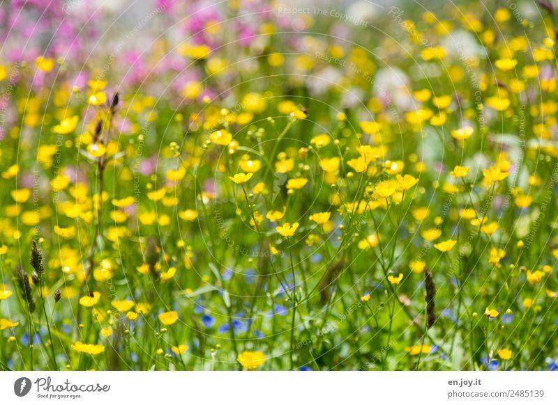 Frühling Natur Sommer Pflanze schön Farbe Blume gelb Garten Wachstum Idylle Fröhlichkeit Lebensfreude Romantik Hoffnung Kitsch
