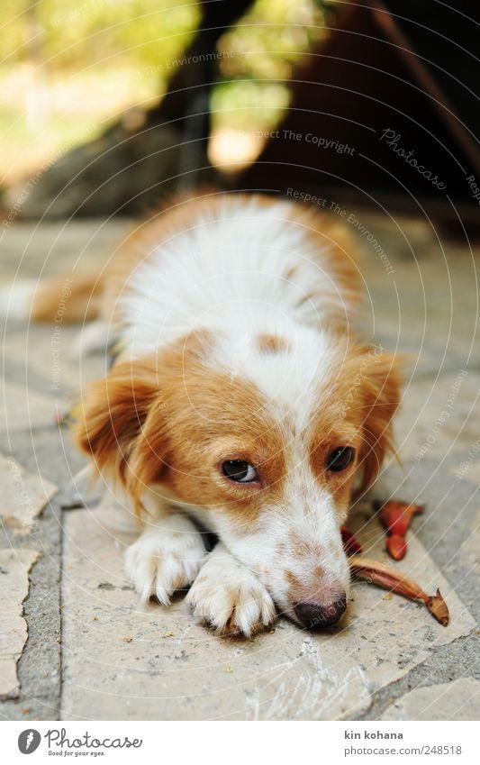 gina weiß Tier gelb Stein Hund Denken braun warten gold liegen Bodenbelag Tiergesicht beobachten Neugier Fell Wachsamkeit