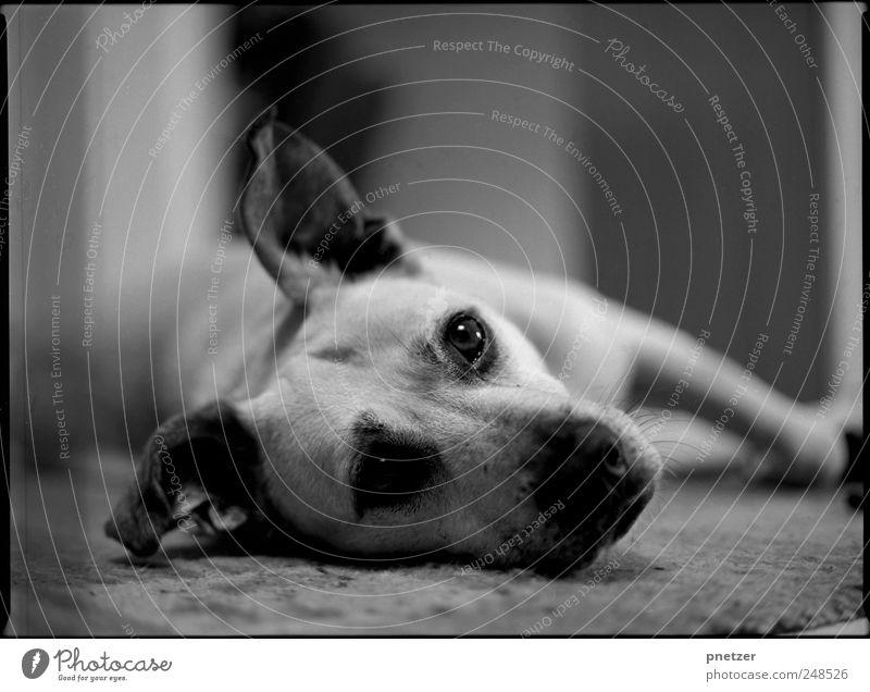Entwickler, Fixierer, Wasser. Tier Haustier Hund Tiergesicht Fell 1 beobachten Erholung Fressen liegen schlafen authentisch außergewöhnlich frei Freundlichkeit