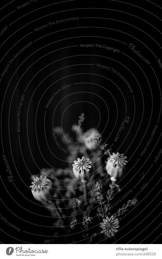 sw Pflanze schwarz dunkel grau Mohn Blumenstrauß unheimlich Lavendel Mohnkapsel Gesteck