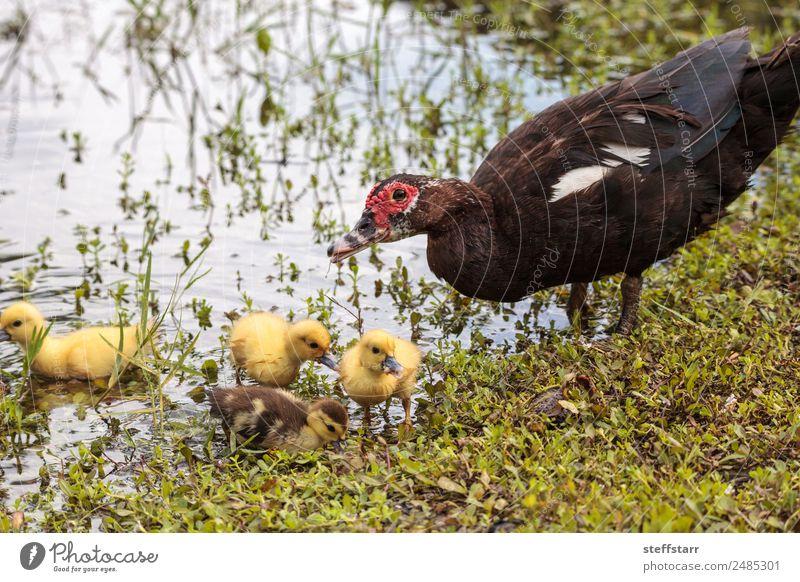Mutter und Baby Muskovy Entenküken Cairina moschata Sommer Eltern Erwachsene Familie & Verwandtschaft Natur Tier Teich Wildtier Vogel 4 Schwarm Tierjunges