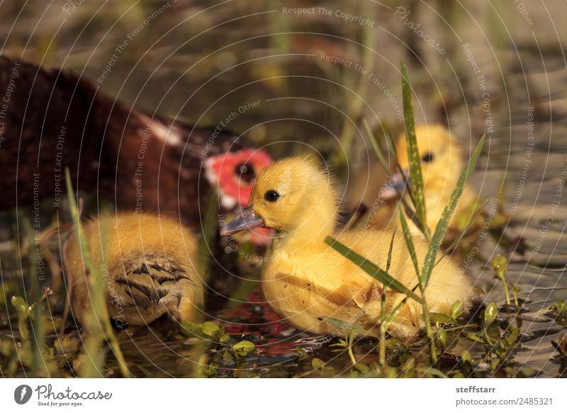 Mutter und Baby Muskovy Entenküken Cairina moschata Sommer Eltern Erwachsene Familie & Verwandtschaft Natur Tier Teich Wildtier Vogel Tiergesicht 4 Schwarm