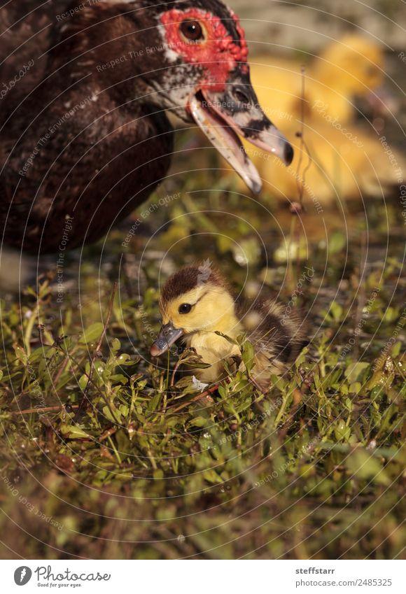 Mutter und Baby Muskovy Entenküken Cairina moschata Sommer Eltern Erwachsene Familie & Verwandtschaft Natur Tier Teich Wildtier Vogel 4 niedlich gelb Küken