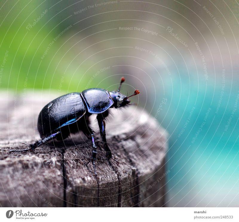 Panzerfahrer Natur schwarz Tier Wildtier Insekt Käfer Fühler