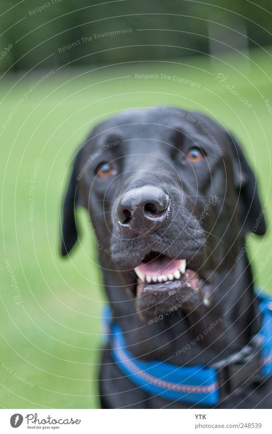 Ohhh Leckerlie? Hund Natur Pflanze schwarz Wiese Gras Freundschaft Park sitzen warten leuchten beobachten Zähne Tiergesicht Gebiss Verbindung
