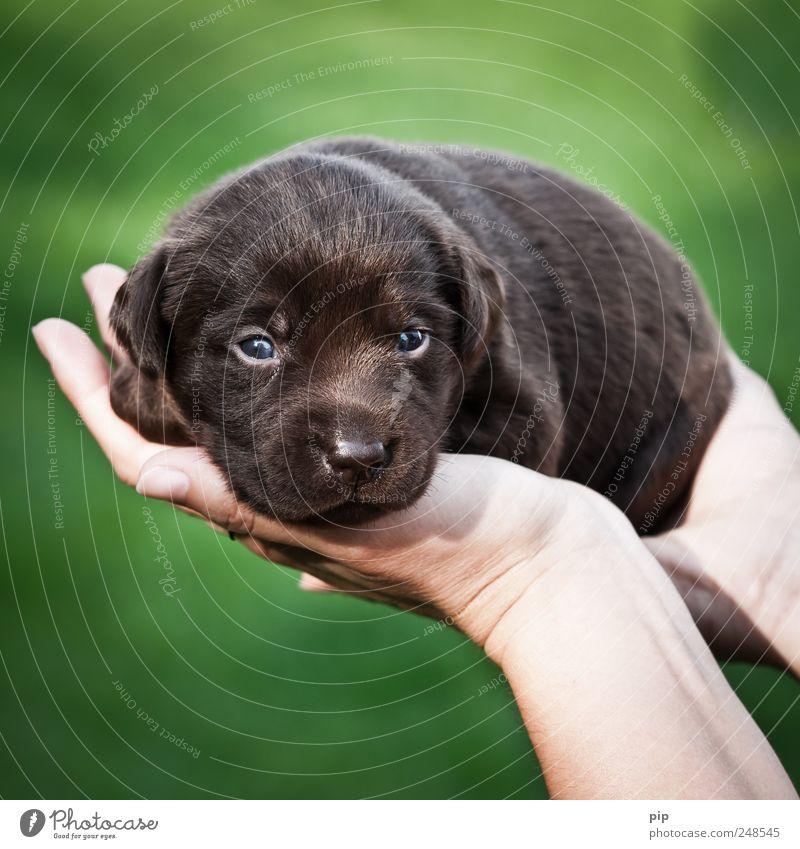 hund in hand Hand grün schön Tier Hund Auge klein braun Tierjunges Angst Finger Fell zart kuschlig Geborgenheit Schnauze