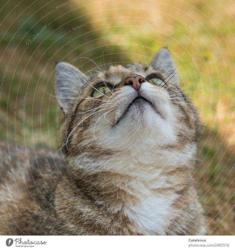 Wann regnet es? Katze Sommer Pflanze schön grün weiß Tier Gras Garten braun sitzen beobachten Neugier Haustier