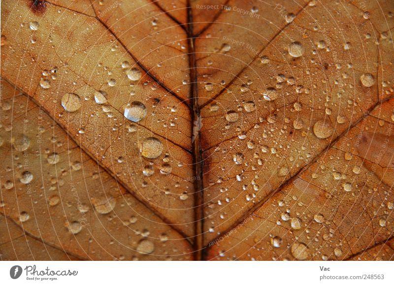 Natur Wasser Pflanze Blatt Herbst Umwelt braun gold Wassertropfen