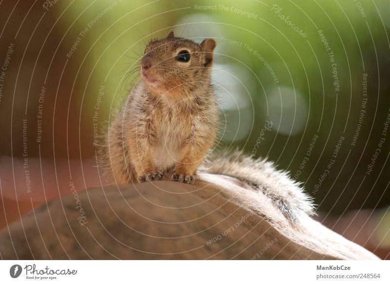 Squirrel schön Tier klein braun Tierjunges Fröhlichkeit Wildtier authentisch niedlich beobachten Neugier Tiergesicht Vertrauen entdecken Pfote kuschlig