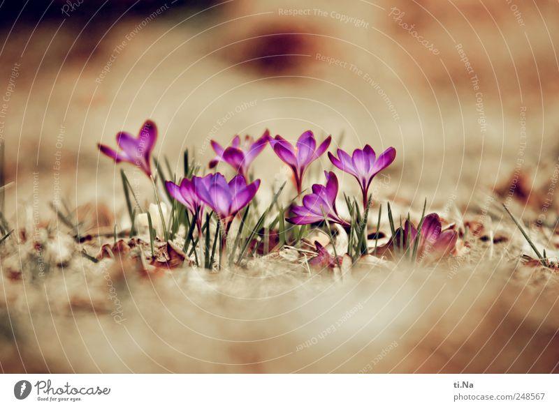 machs gut Pflanze Frühling Blatt Blüte Krokusse Blühend Duft Wachstum hell schön Frühlingsgefühle Farbfoto Nahaufnahme Menschenleer Textfreiraum oben