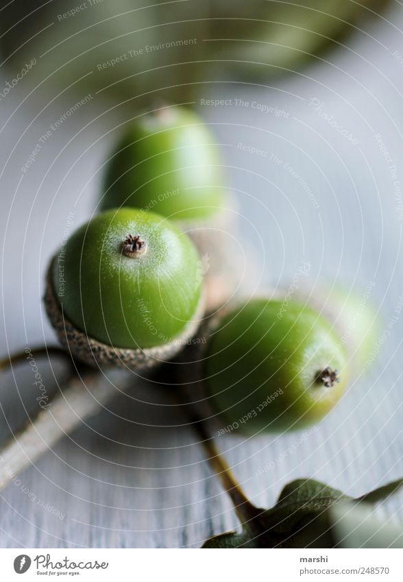 noch grün Natur Pflanze Blatt Frucht Fruchtstand Eicheln