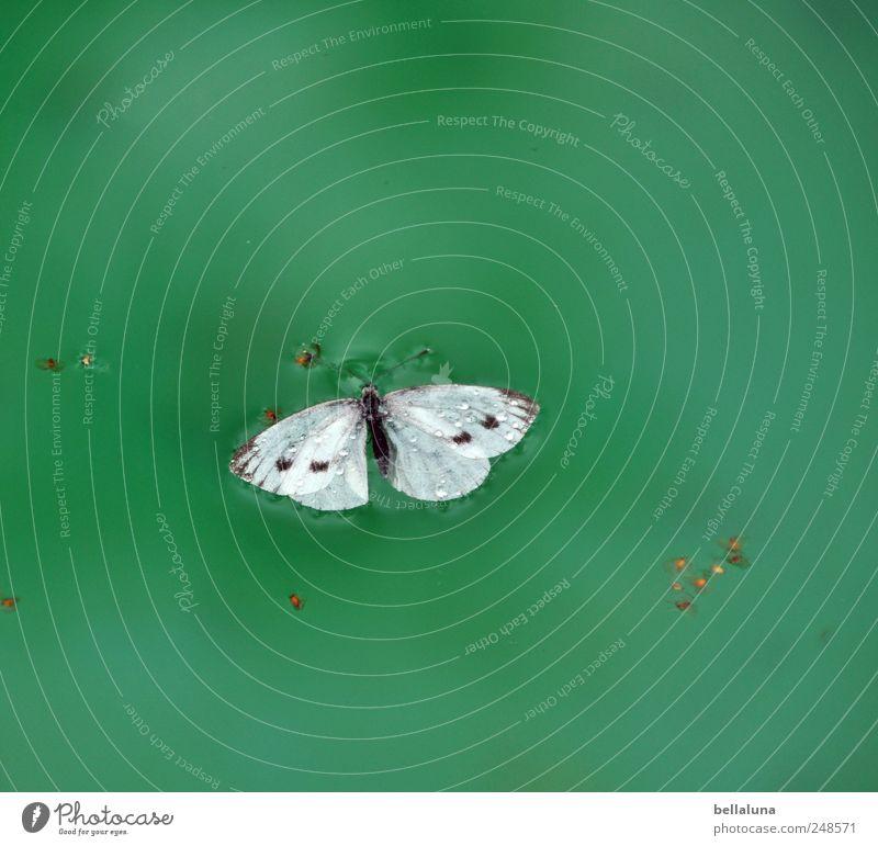 Gute Reise, kleiner Kohlweißling. Natur Wasser weiß grün schön blau Sommer schwarz Tier Umwelt hell nass ästhetisch natürlich Wildtier Flügel