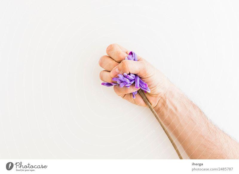 Menschliche Hand, die einen Löwenzahn auf weißem Hintergrund fängt. Kräuter & Gewürze schön Garten Finger Natur Pflanze Blume Blatt Blüte frisch natürlich wild