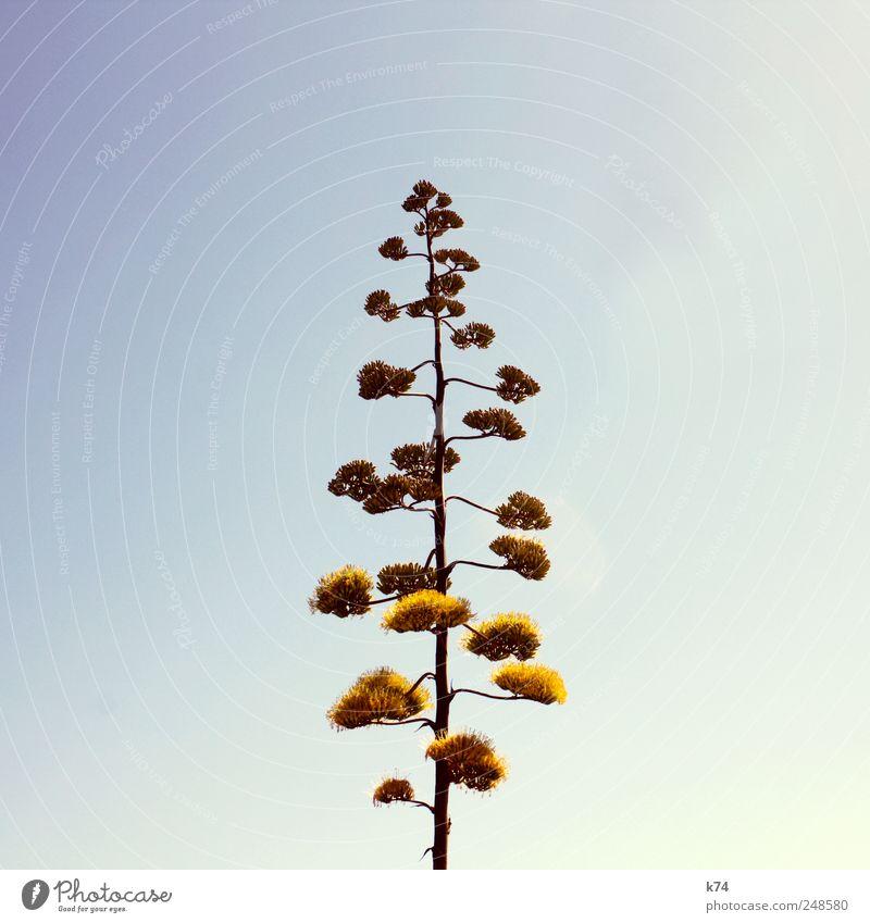 Agave Umwelt Natur Pflanze Himmel Wolkenloser Himmel exotisch Agavenblüte Blühend hoch blau gelb Farbfoto Gedeckte Farben Außenaufnahme Menschenleer