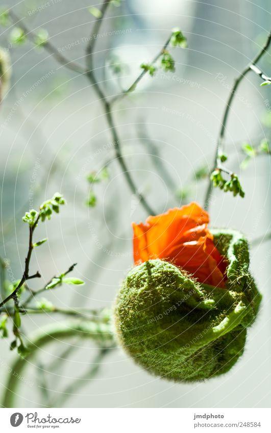 Mohnblüte pellt sich ans Sonnenlicht Natur grün schön rot Pflanze Blume Frühling elegant frei ästhetisch Wachstum Neugier berühren fantastisch Blühend