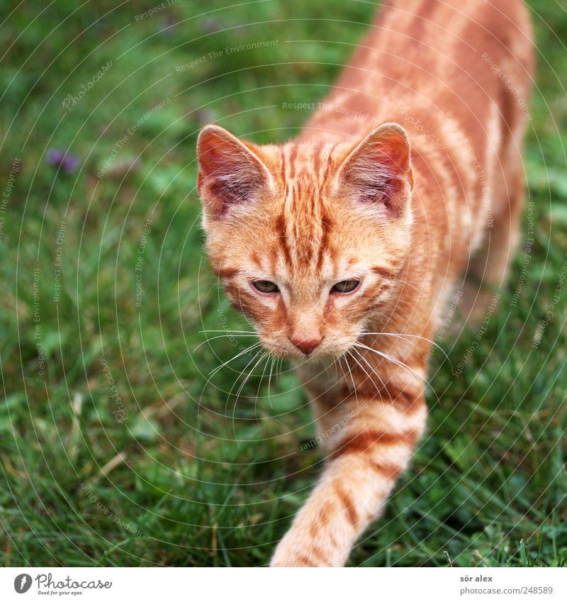 kidcat grün Tier Wiese Katze orange gehen Tiergesicht niedlich Neugier Fell Haustier gestreift Schnurrhaar Tierliebe schleichen Katzenauge