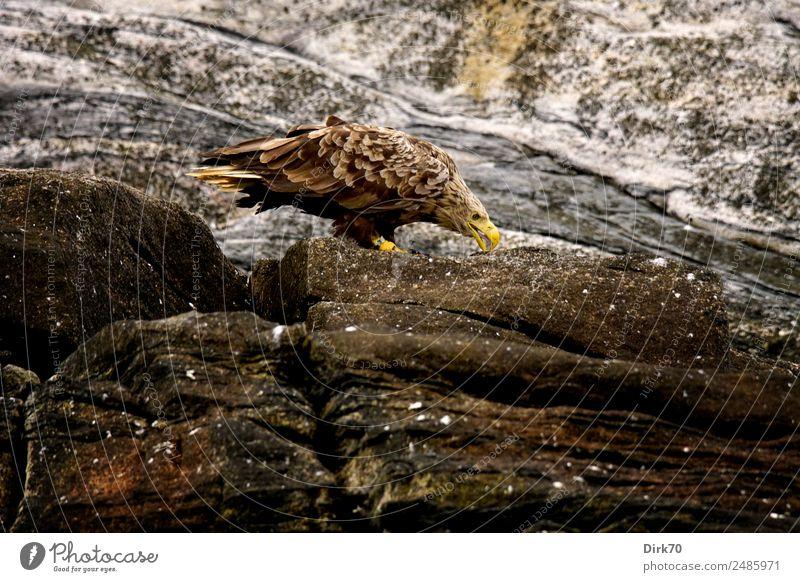 Seeadler auf Bleiksöya Umwelt Natur Sommer schlechtes Wetter Felsen Küste Insel Insel Bleiksoya Vesteralen Felsküste Gesteinsformationen Norwegen Arktis Tier