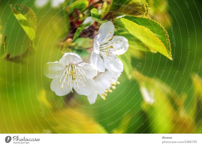 Nullachtfünfzehn | typisches Frühlingsbild Pflanze Blüte Kirschblüten Kirschbaum Blühend Freundlichkeit hell grün weiß Frühlingsgefühle nachhaltig Natur