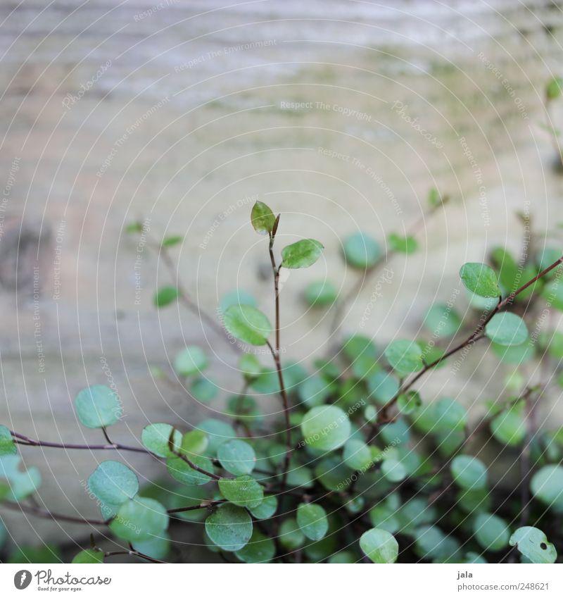 zarte triebe Pflanze Blatt grau Holz braun natürlich Grünpflanze zartes Grün