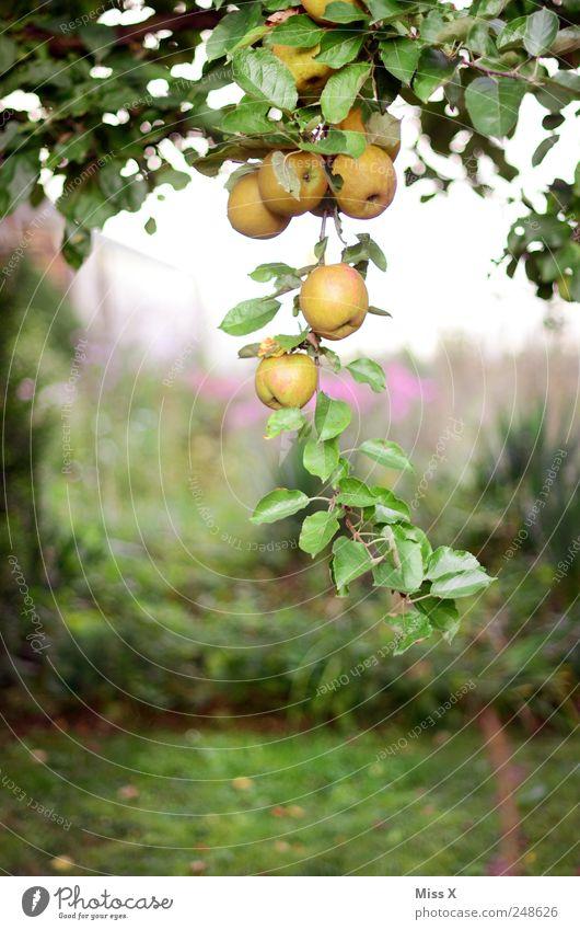 Apfeltraube Baum Sommer Ernährung Garten Lebensmittel Gesundheit Frucht frisch süß rund Apfel Ast lecker hängen Zweig Bioprodukte