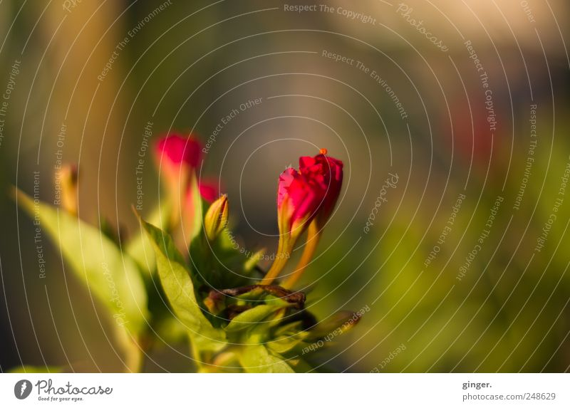 Blumen aus Kroatien Natur grün Pflanze Sommer rot Blume Blatt Umwelt Blüte Schönes Wetter geschlossen zart Warme Farbe