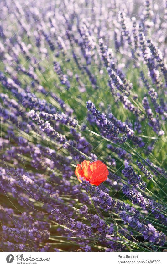 #A# lila-rot Kunst ästhetisch Mohn Mohnblüte Mohnfeld Lavendel Lavendelfeld Lavendelernte violett Minderheit schön Feld Blühend Blühende Landschaften Farbfoto