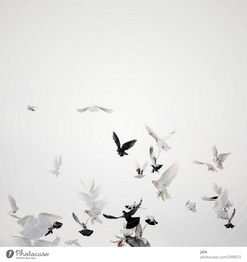 wings of love Feste & Feiern Himmel Tier Vogel Taube Schwarm fliegen Farbfoto Außenaufnahme Menschenleer Textfreiraum rechts Hintergrund neutral Tag
