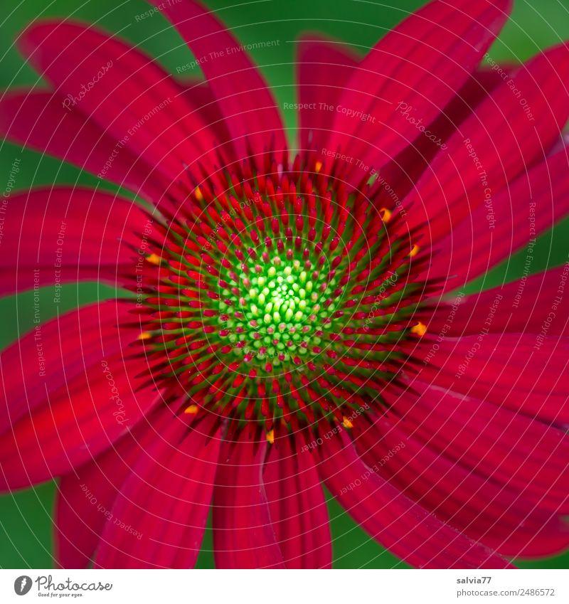roter Sonnenhut Gesundheitswesen Alternativmedizin Leben harmonisch ruhig Duft Natur Pflanze Sommer Blume Blüte Nutzpflanze Roter Sonnenhut Garten Blühend