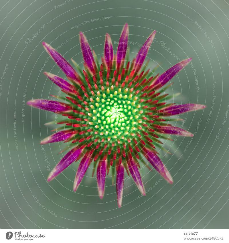 Entfaltung Natur Pflanze Sommer Blume Blüte Roter Sonnenhut Blütenknospen Garten Blühend ästhetisch grün rot Design Duft einzigartig Wachstum Stern (Symbol)