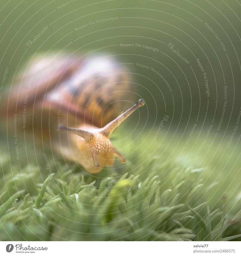 Immer mit der Ruhe! Natur Erde Moos Wald Schnecke Weichtier Fühler 1 Tier schleimig braun grün Gerechtigkeit Mobilität Perspektive ruhig Schutz Ziel langsam
