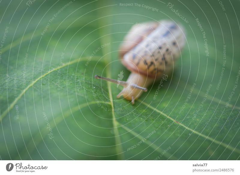 Geschwindigkeit   Schneckentempo Natur Pflanze grün Tier Blatt ruhig Wege & Pfade braun Schutz Ziel Symmetrie Blattadern Blattgrün Fühler