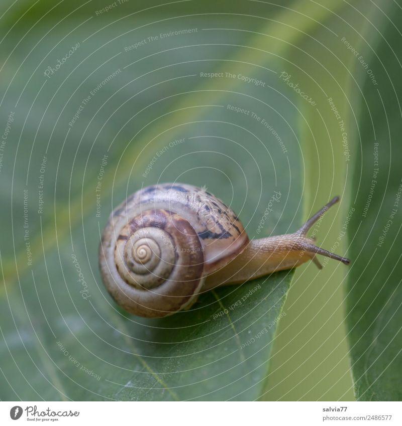 überbrücken Umwelt Natur Pflanze Blatt Blattadern Blattgrün Tier Schnecke 1 schleimig Geschwindigkeit Mobilität Perspektive Schutz Wege & Pfade Ziel Ornament