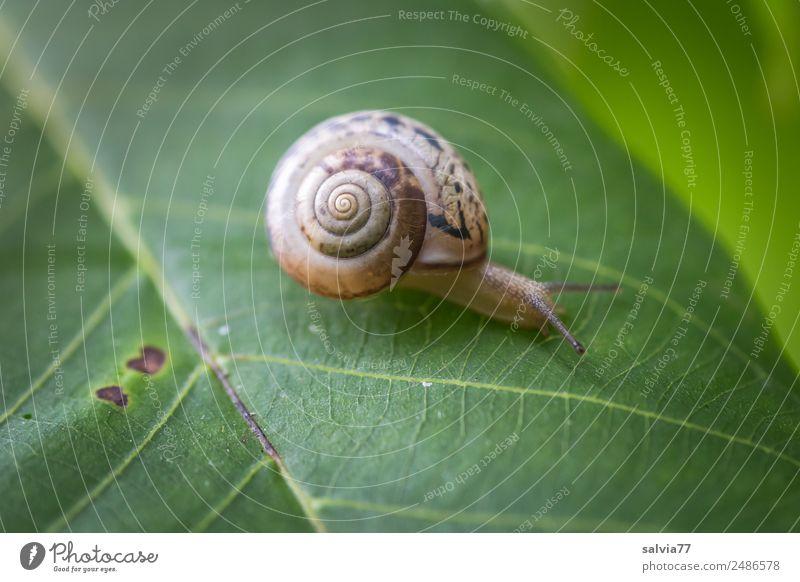 Wohnmobil Umwelt Natur Pflanze Blatt Tier Schnecke 1 schleimig braun grün Geschwindigkeit Mobilität Wege & Pfade Ziel krabbeln langsam Spirale Schutz Fühler