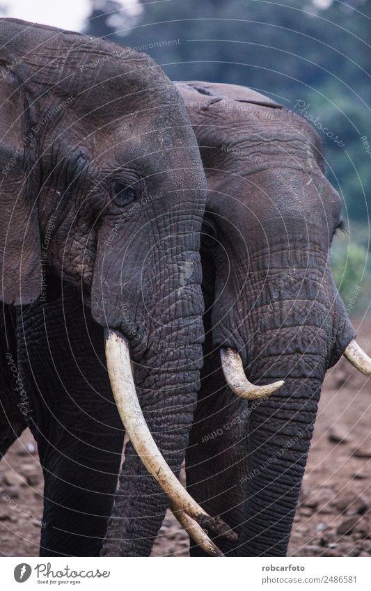 zwei Elefanten im Aberdare Nationalpark in Kenia Familie & Verwandtschaft Mund Natur Tier Park natürlich stark wild Kraft Kofferraum Tierwelt asiatisch groß