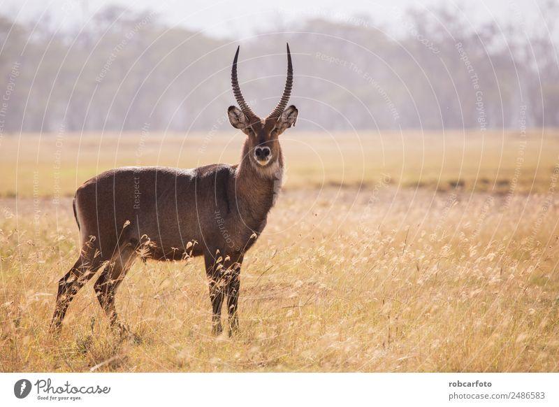 Wasserbock im Lake Samburu Nationalpark, Kenia schön Spielen Ferien & Urlaub & Reisen Safari Mann Erwachsene Umwelt Natur Tier Park natürlich wild weiß