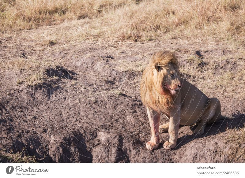 Löwe in der Masai Mara Kenia schön Spielen Safari Mann Erwachsene Natur Landschaft Tier Gras Park Katze stehen natürlich wild Farbe Afrika Afrikanisch Tierwelt