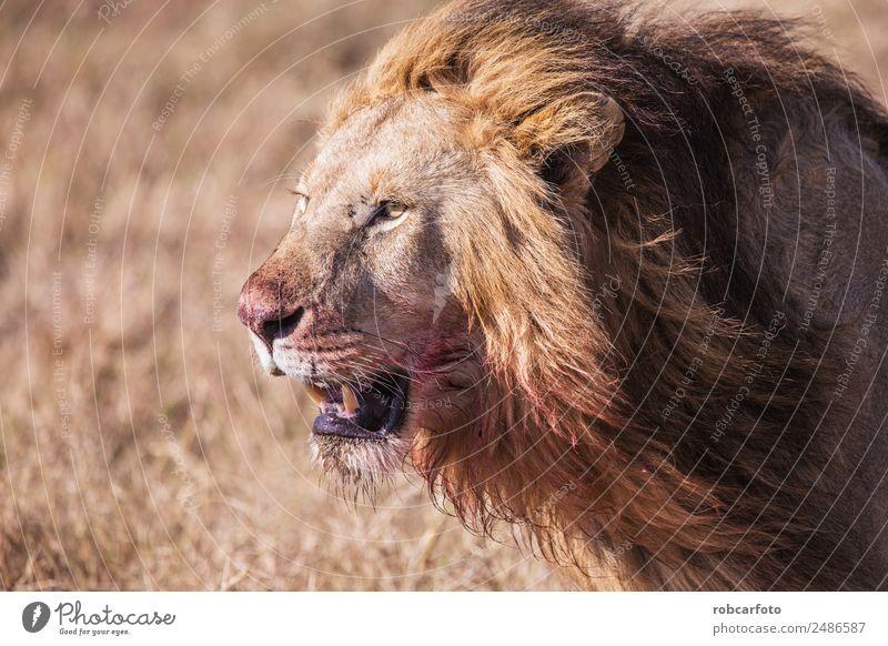 Löwe mit blutbeflecktem Gesicht Masai Mara in Kenia, Afrika schön Spielen Safari Mann Erwachsene Natur Landschaft Tier Gras Park Katze stehen natürlich wild