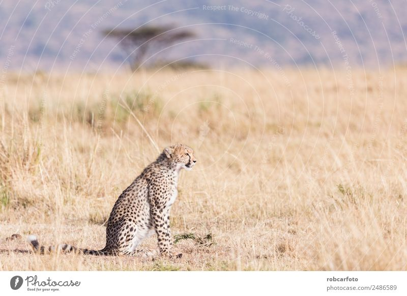 Geparden in der Masai Mara in Kenia Afrika schön Ferien & Urlaub & Reisen Tourismus Safari Mund Natur Tier Himmel Park Pelzmantel Katze Tierjunges natürlich