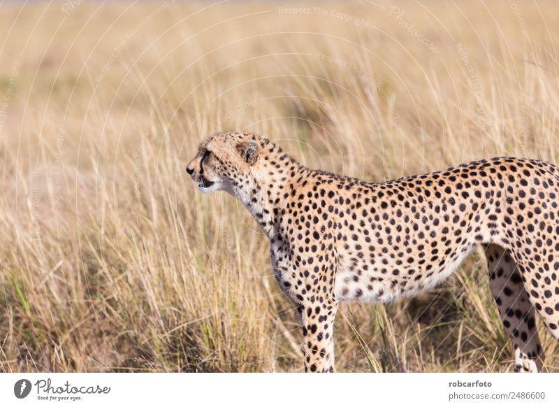 Geparden in Masai Mara in Kenia, Afrika schön Ferien & Urlaub & Reisen Tourismus Safari Mund Natur Tier Himmel Park Pelzmantel Katze Tierjunges natürlich wild
